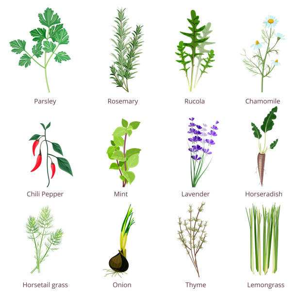 Herbs and spices. Camomiles thyne lemongrass wild flowers cartoon vector isolated Herbs and spices. Camomiles thyne lemongrass wild flowers cartoon vector isolated. Organic spice and botanical herb illustration lavender plant stock illustrations