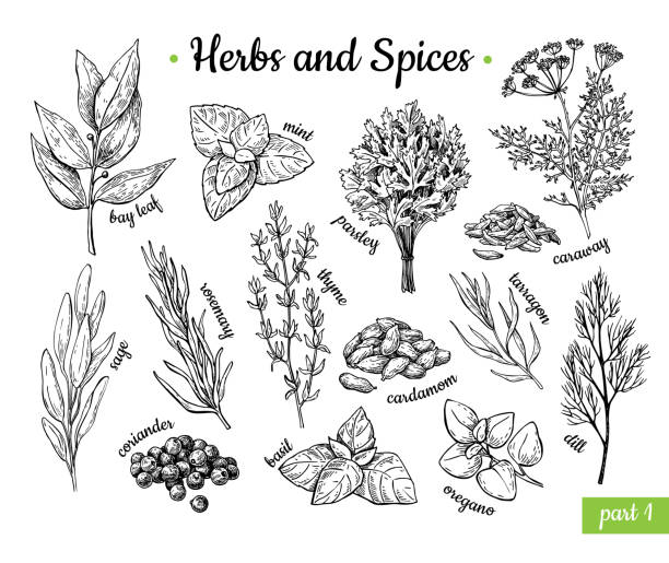 Herbs and Spices. Hand drawn vector illustration set. Engraved style flavor and condiment drawing. Botanical vintage food sketches. Herbs and Spices. Hand drawn vector illustration set. Engraved style flavor and condiment drawing. Botanical vintage food sketches. Mint, oregano, caraway, coriander, basil, dill and etc. basil stock illustrations