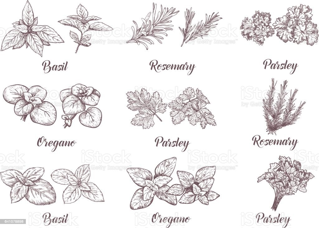 Herbs and spices set. Engraving illustrations for tags. vector art illustration