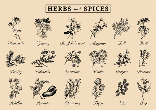 herbs and spices set. hand drawn officinalis, medicinal, cosmetic plants. botanical illustrations for tags. cards etc. - sage stock illustrations, clip art, cartoons, & icons