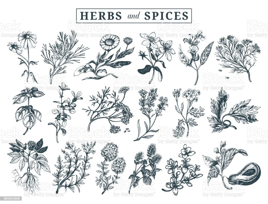 Herbs and spices set. Hand drawn officinalis, medicinal, cosmetic plants. Botanical illustrations for tags. cards etc. vector art illustration