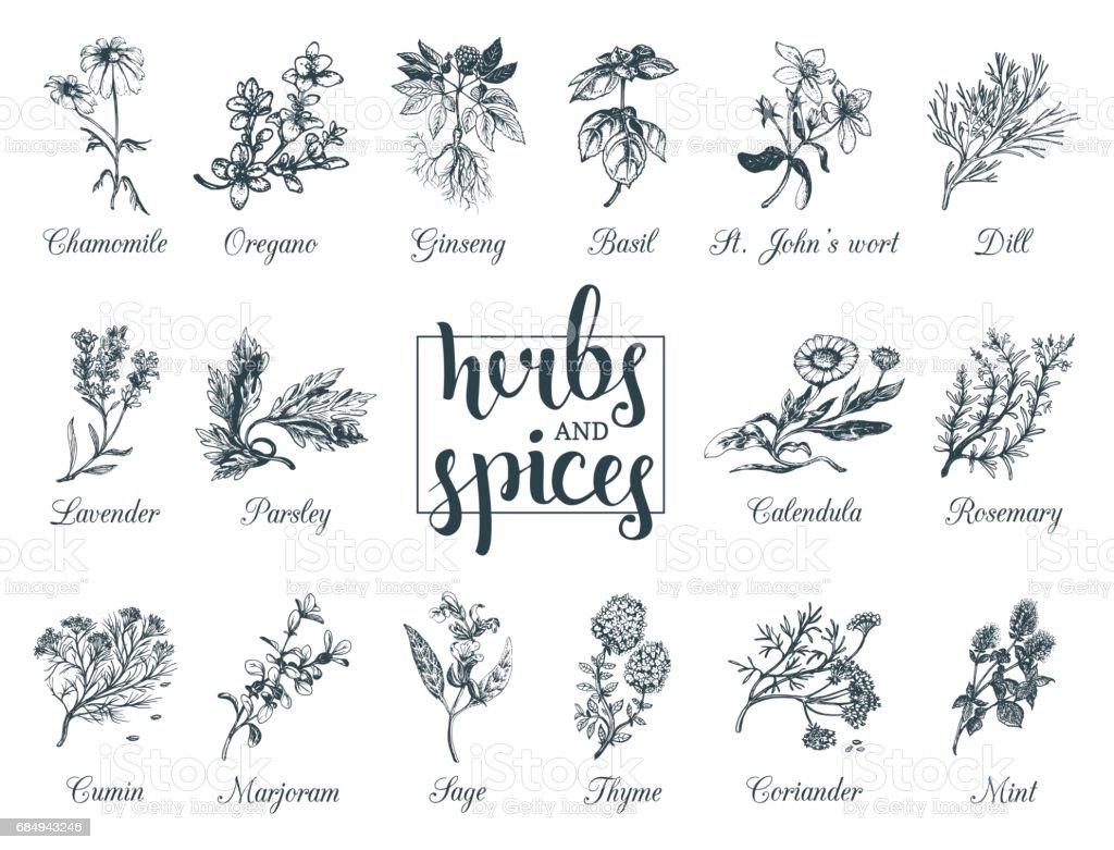 Conjunto de hierbas y especias. Dibujado a mano officinalis, plantas medicinales, cosméticas. Ilustraciones botánicas para etiquetas. tarjetas etcetera. - ilustración de arte vectorial