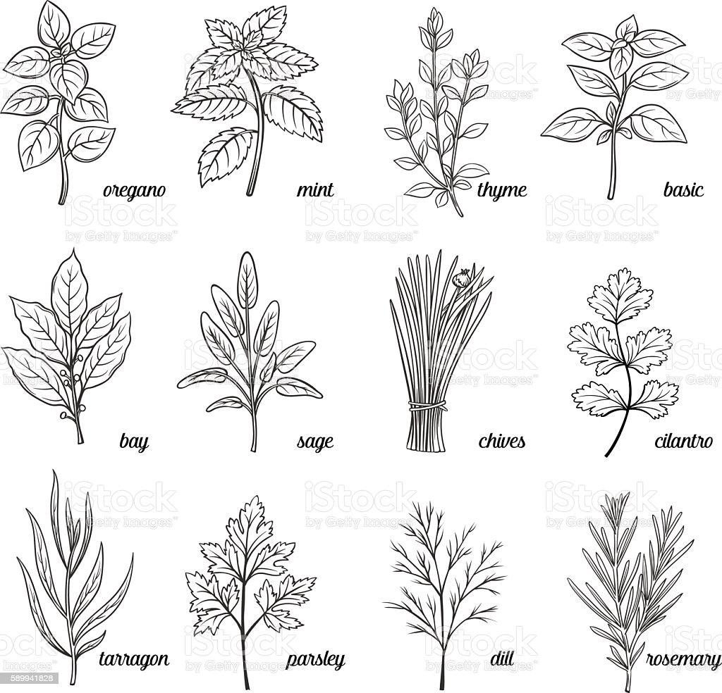 Herbs and spices set. - ilustração de arte em vetor