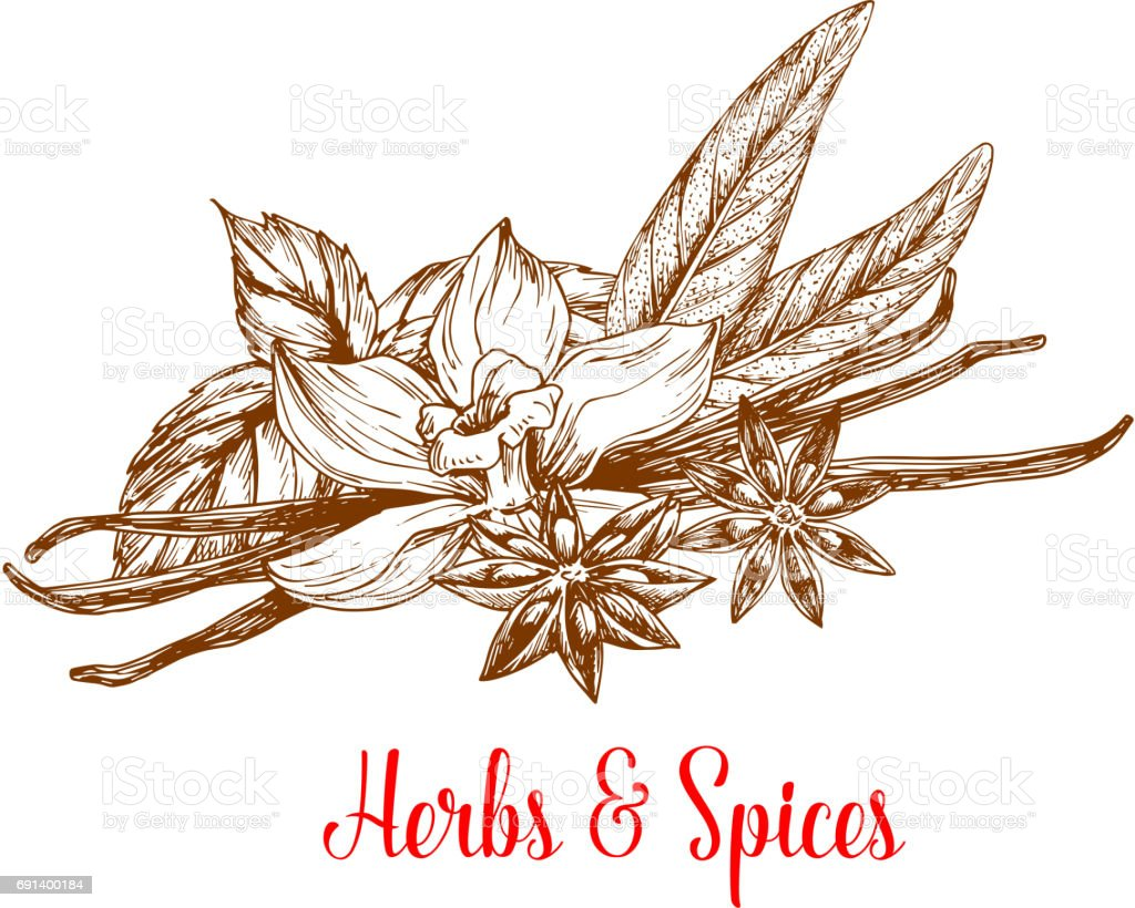 Herbs and spices sketch with mint, vanilla, anise vector art illustration