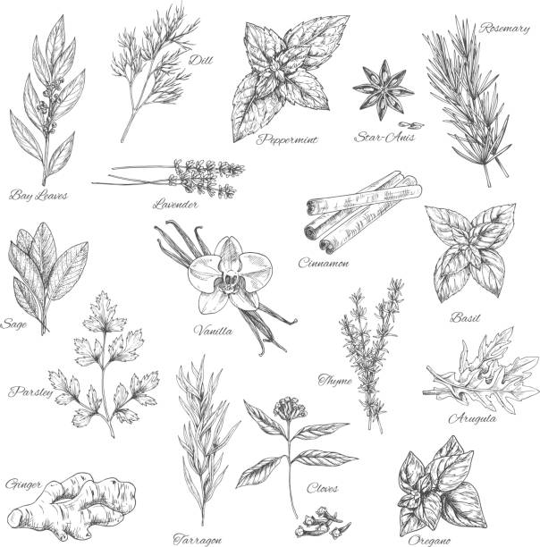 Herbs and spices vector sketch icons Spices and herbs vector dill, peppermint and anise, rosemary, bay leaf or lavender and cinnamon, basil or sage, parsley and vanilla or thyme, arugula, oregano or clove and ginger or tarragon seasoning lavender plant stock illustrations