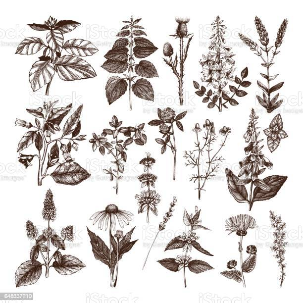 Herbs and weeds collection vector id648337210?b=1&k=6&m=648337210&s=612x612&h=dgt w0afifnytzblez8i9ih50ppabndzlli02oy0eew=