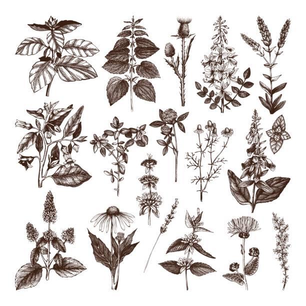 ハーブと雑草コレクション - 薬草点のイラスト素材/クリップアート素材/マンガ素材/アイコン素材