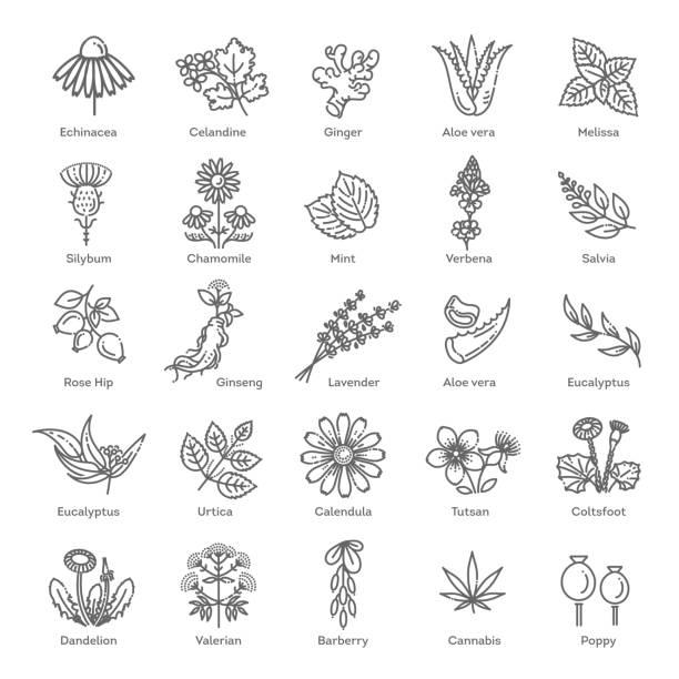 kolekcja ziół. medyczne zdrowe kwiaty i zioła rośliny natury - liść mięty przyprawa stock illustrations