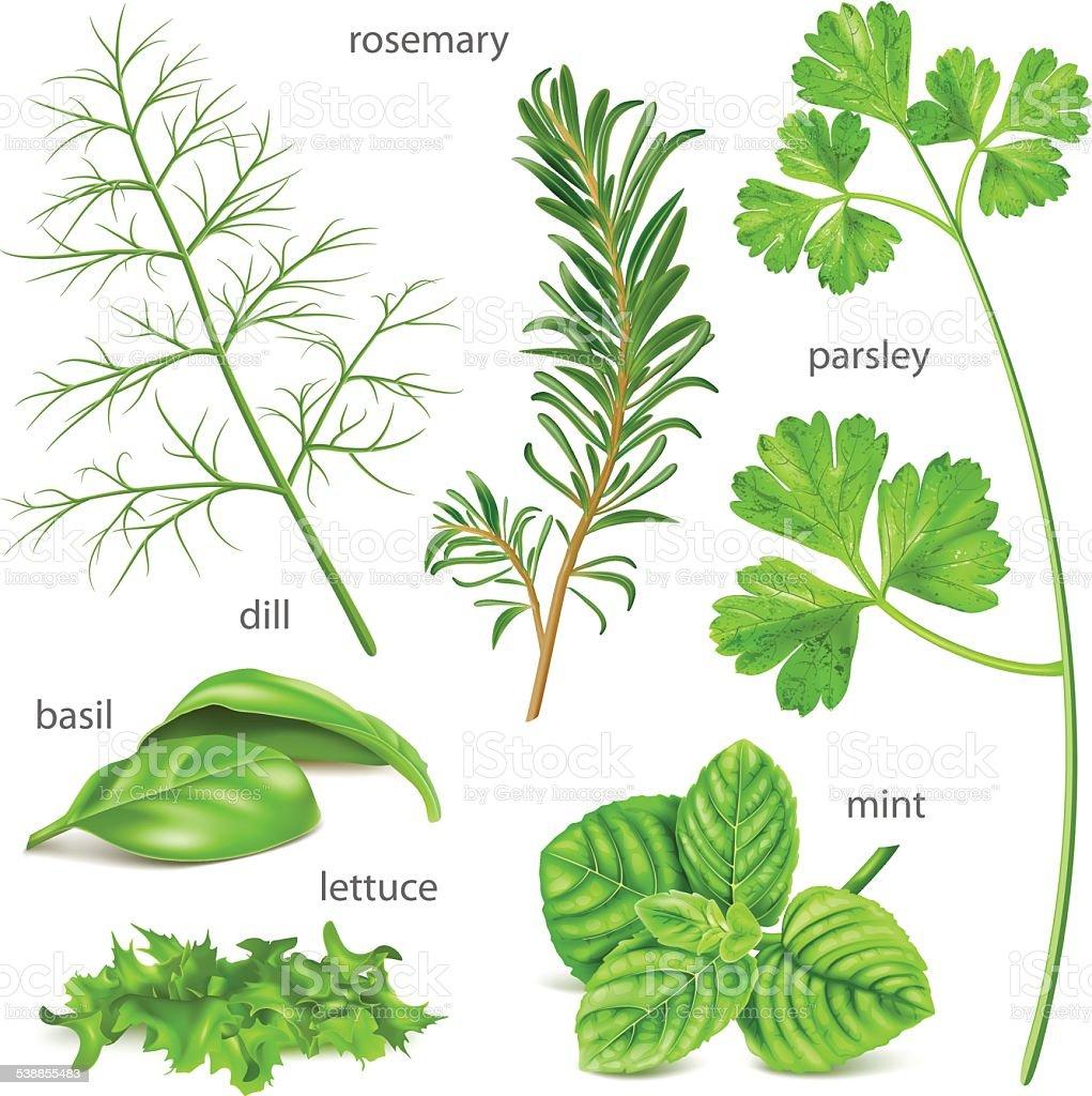 Herbs collection. vector art illustration