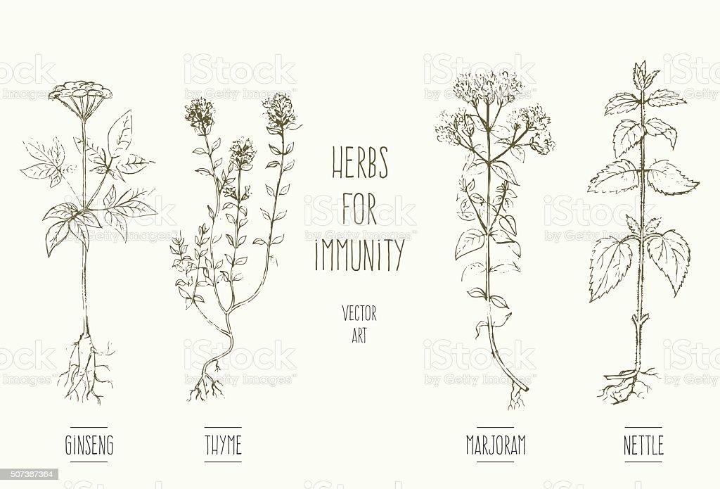 Herbs improving immune system vector art illustration