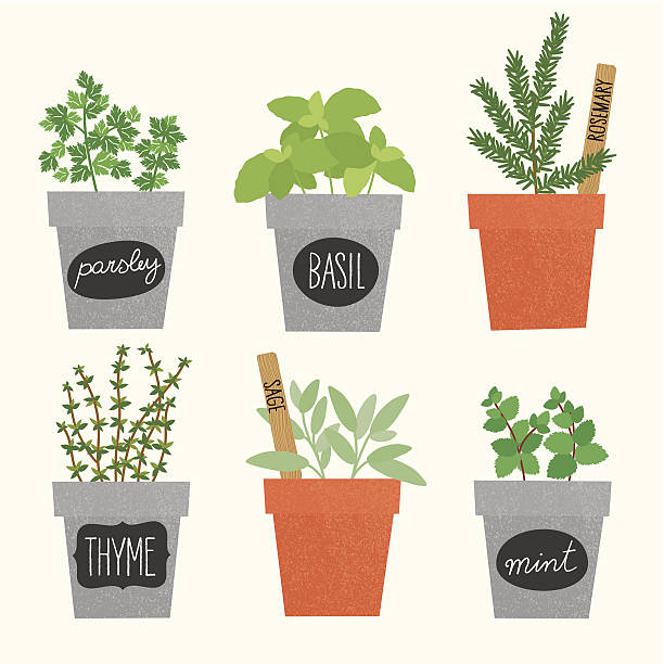 Herbs pots A collection of the most common herbs used for cooking basil stock illustrations