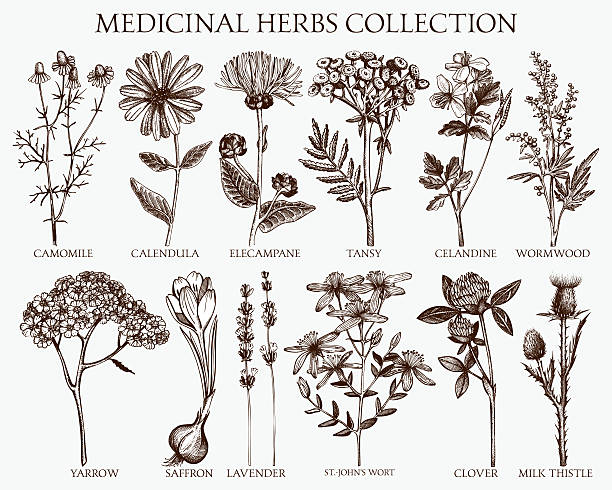 herbs sketch set. Vector collection of hand drawn spices and herbs. Botanical plant illustration. Vintage medicinal herbs sketch set. lavender plant stock illustrations