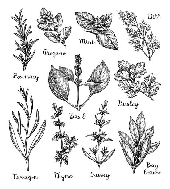 Herbs sketch set. Herbs set. Collection of ink sketches isolated on white background. Hand drawn vector illustration. Retro style. basil stock illustrations