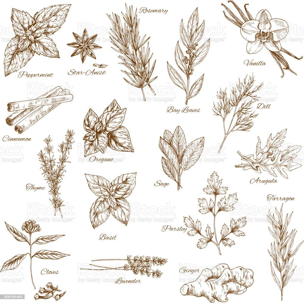Herbs, spices and leaf vegetable sketch poster vector art illustration