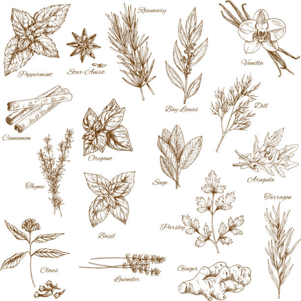 herbs, spices and leaf vegetable sketch poster - sage stock illustrations, clip art, cartoons, & icons