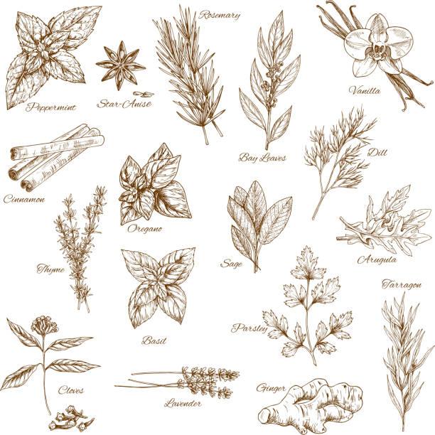 stockillustraties, clipart, cartoons en iconen met kruiden, specerijen en blad plantaardige schets poster - vanille