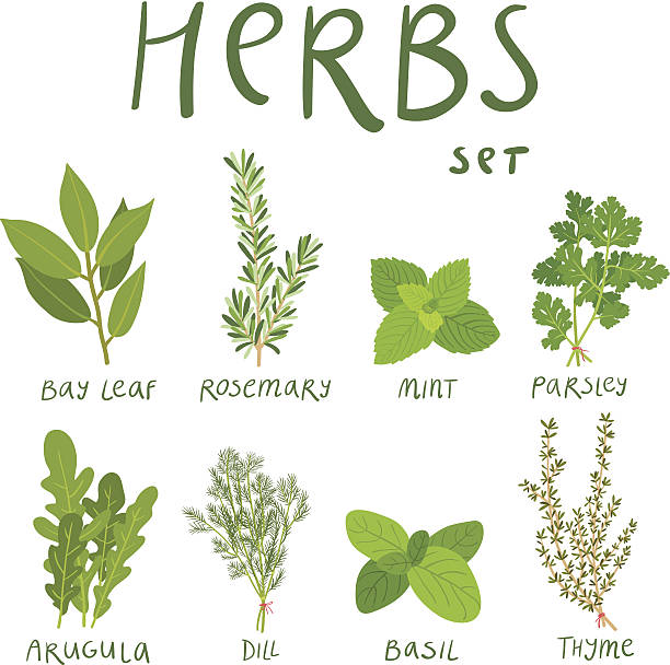 Herbs Set of 8 vector herbs basil stock illustrations