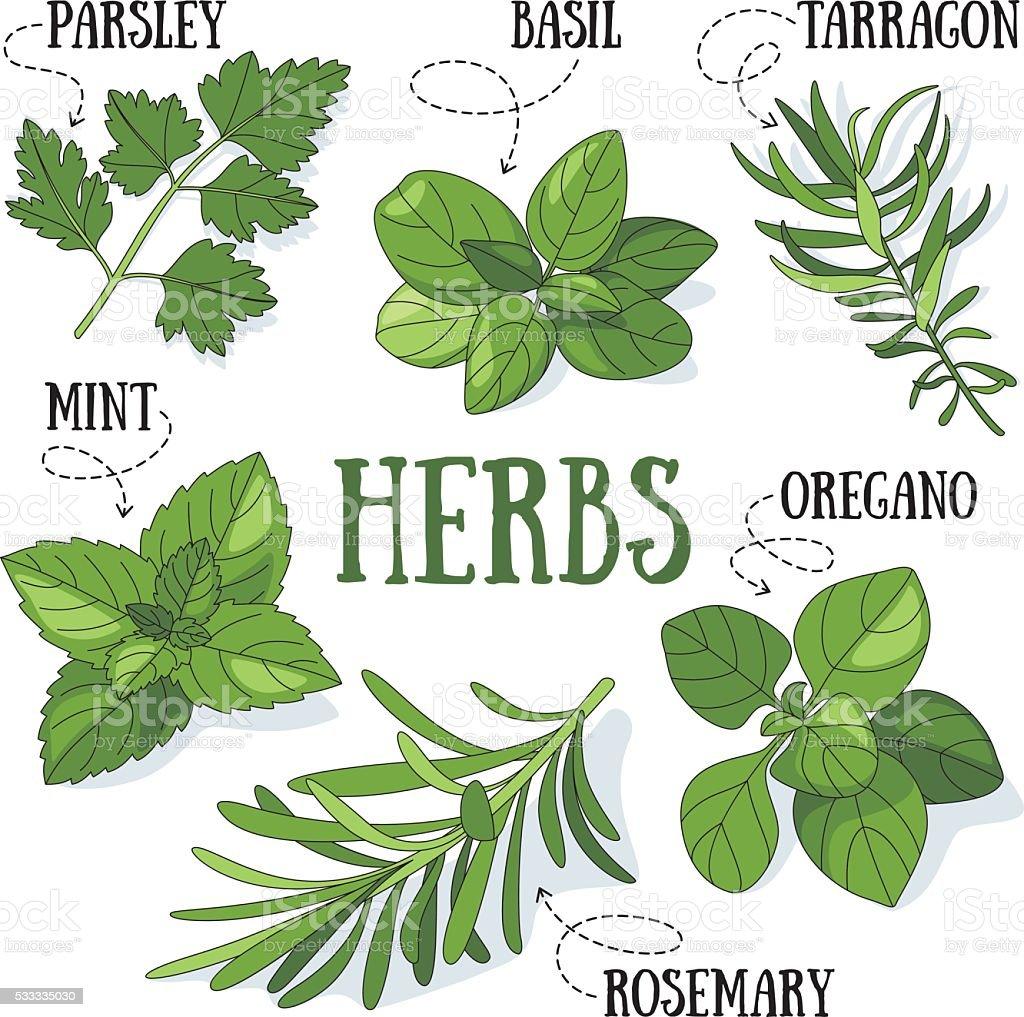 Herbs vector art illustration