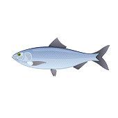 Herring. Colorful sea, river fish, swimming on blue deep sea
