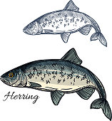 Herring fish vector isolated sketch icon