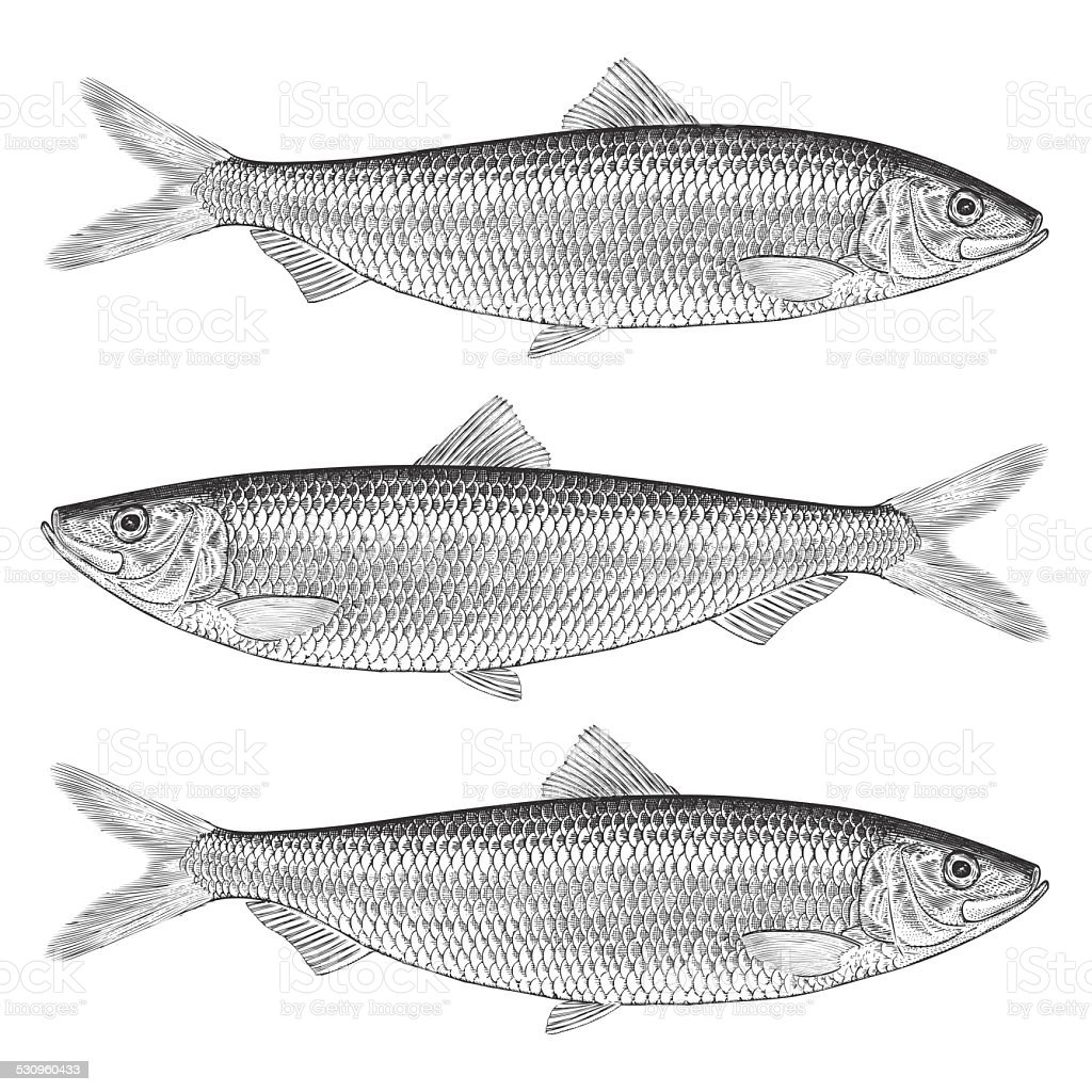 Herring Illustration vector art illustration