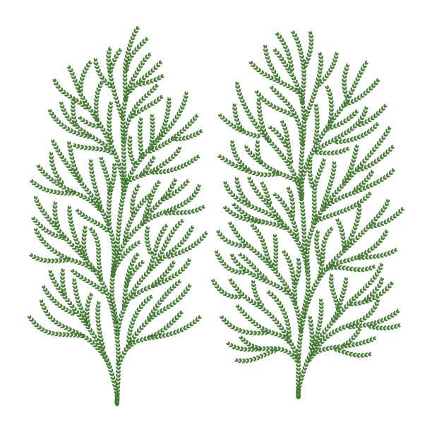 ヒバの木の葉っぱ ベクター イラスト ベクターアートイラスト