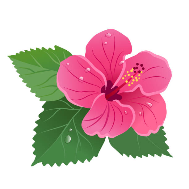 Hibiscus flower bloom with green leaves, dew drops floral vector illustration isolated on white. Tropical island summer vacation, Aloha Hawaii, floral design element. Hibiscus flower bloom with green leaves, dew drops floral vector illustration isolated on white. Tropical island summer vacation, Aloha Hawaii, floral design element. big island hawaii islands stock illustrations