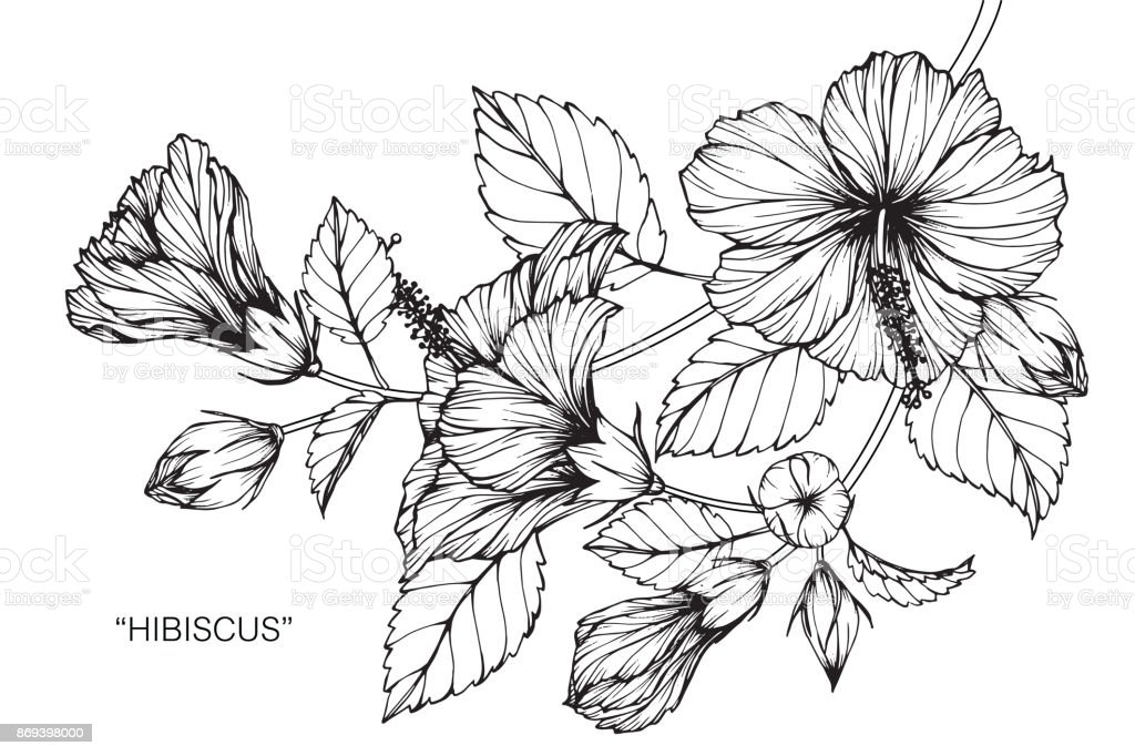 Hibiscus Flower Drawing Stock Vector Art More Images Of Art
