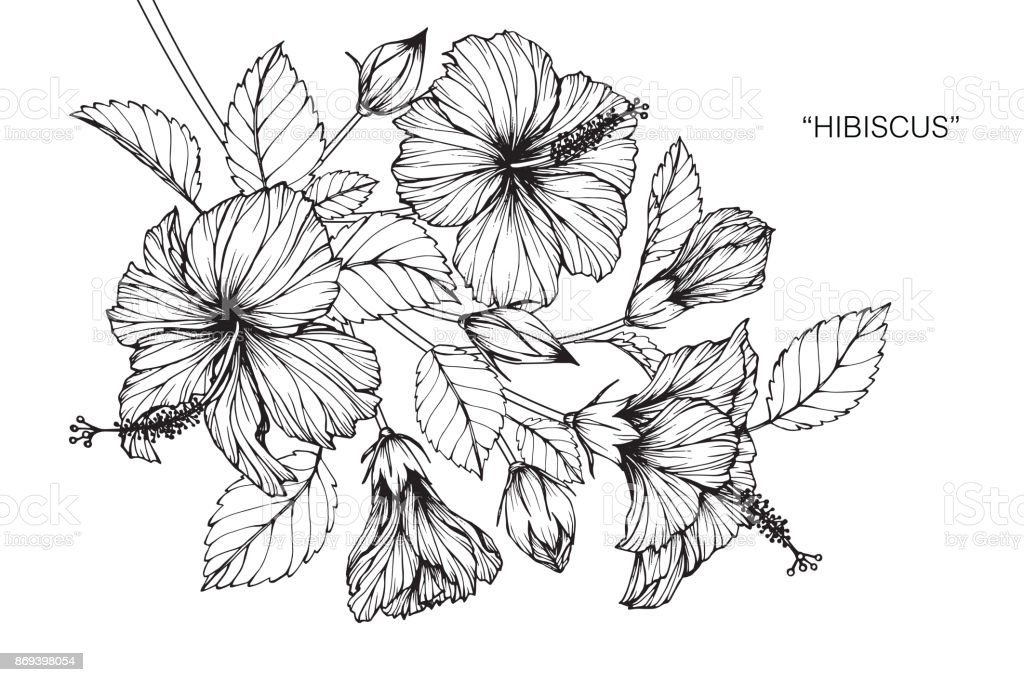 Hibiscus Flower Drawing Stock Illustration
