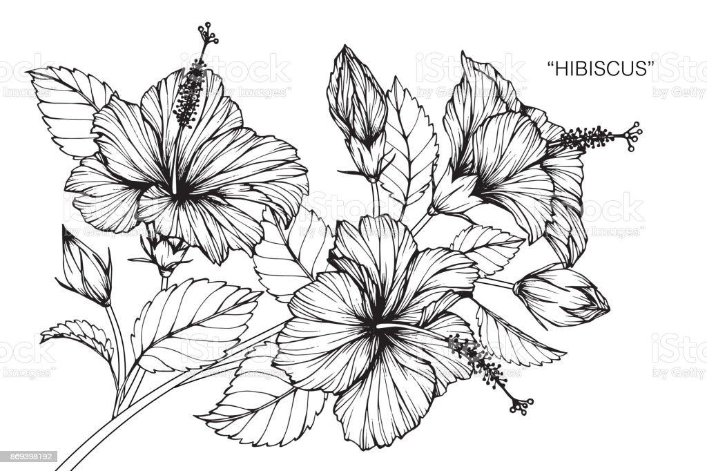 Dessin dune fleur dhibiscus cliparts vectoriels et plus - Fleur d hibiscus dessin ...