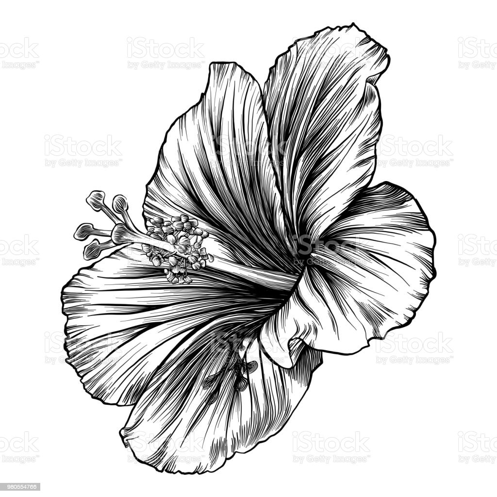 Hibiscus Flower Pen And Ink Vector Drawing Stock Vector Art More