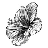 Hibiscus Flower Pen and Ink Vector Drawing