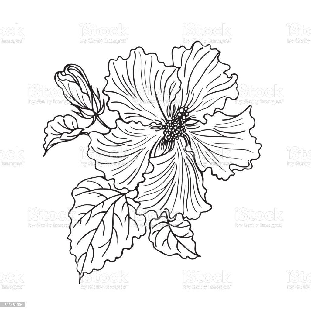 Bunga Kembang Sepatu Ilustrasi Stok Unduh Gambar Sekarang Istock