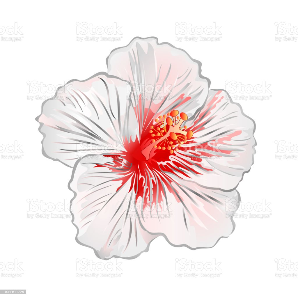 Hibiscus White Flower Tropical Plant On A White Background Vintage