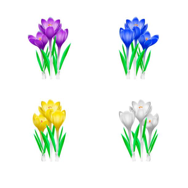 illustrations, cliparts, dessins animés et icônes de haute illustration détaillée de crocus fleurs dans différentes couleurs - crocus