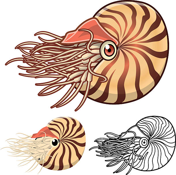 High Quality Nautilus Cartoon Character Detailed Nautilus Cartoon Character Include Flat Design and Line Art Version nautilus shell stock illustrations