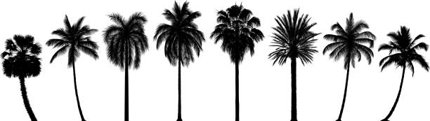 highly detailed palm trees - palm tree stock illustrations