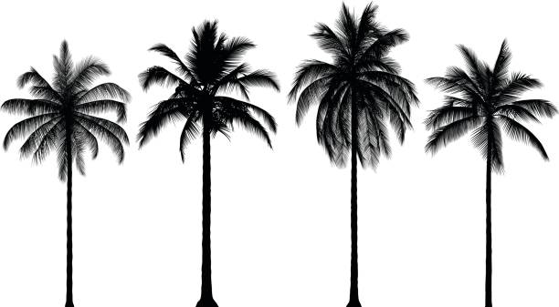 Highly Detailed Palm Trees Highly detailed palm trees. focus on shadow stock illustrations