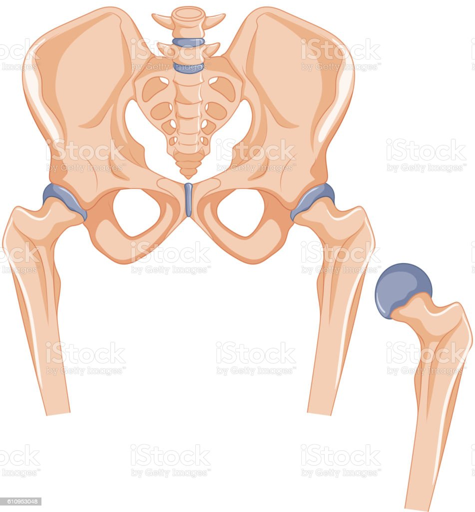 Hip Joint Diagram Vector Car Wiring Diagrams Explained
