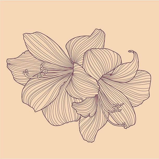 bildbanksillustrationer, clip art samt tecknat material och ikoner med hippeastrums - bulb flower line drawing - amaryllis