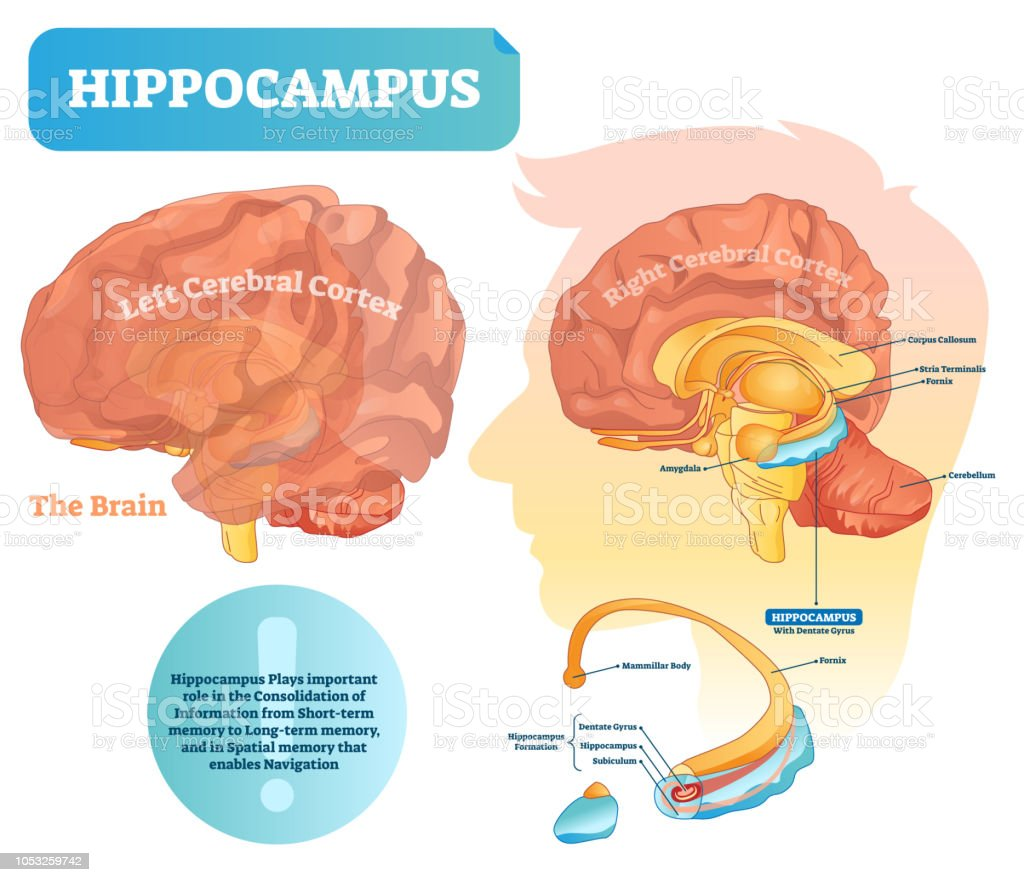 hippocampus vector illustration labeled diagram with isolated
