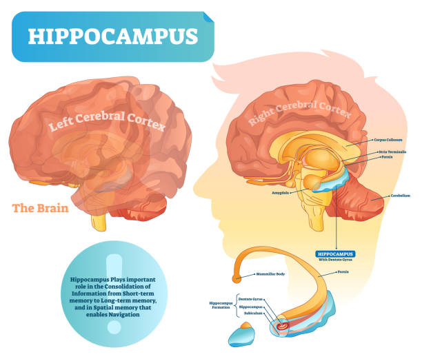 Hippocampus vector illustration. Labeled diagram with isolated closeup. Hippocampus vector illustration. Labeled diagram with isolated closeup structure and location. Formation division with dentate gyrus, subiculum and mammillar body. hippocampus brain stock illustrations
