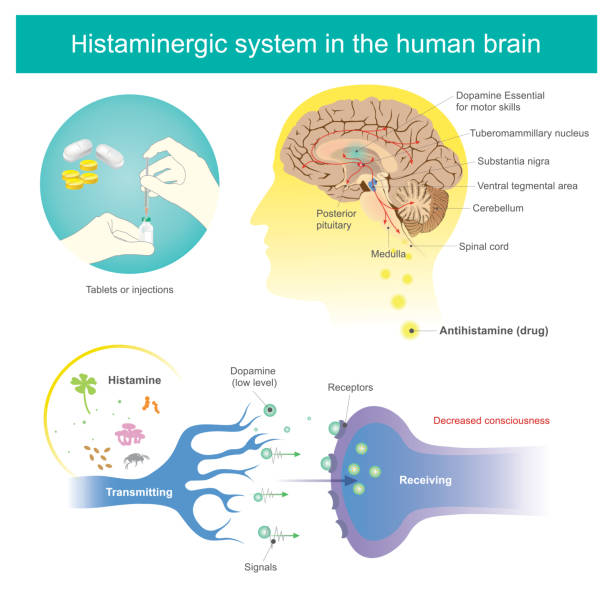 Histaminergic  system in the human brain. Histamine Illustration. Antihistamines are drugs which treat allergic rhinitis and other allergies. Affects the perception of the nervous system and brain. Histamine Illustration. antihistamine stock illustrations
