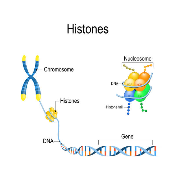 Histones close up. Organization and packaging of genetic material (DNA) in Chromosome. Histones close up. Organization and packaging of genetic material (DNA) in Chromosome. Vector diagram for educational, biological, medical, and scientific use chromosome stock illustrations