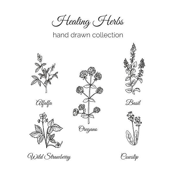 illustrazioni stock, clip art, cartoni animati e icone di tendenza di holistic medicine. healing herbs illustration. - erba medica
