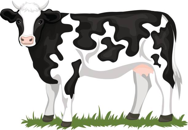 Holstein Black and white patched coated cow  cattle, isolated vector illustration vector art illustration