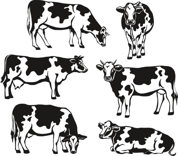 holstein cattle silhouette set. cows front, side view, walking, lying, grazing, eating, standing - cow stock illustrations, clip art, cartoons, & icons