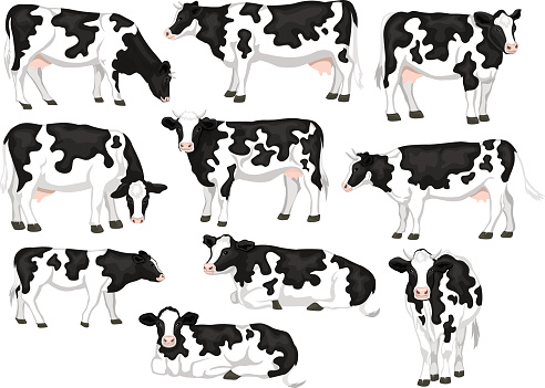 Holstein friesian black and white patched coat breed cattles set. Cows front, side view, walking, lying, grazing, eating, standing