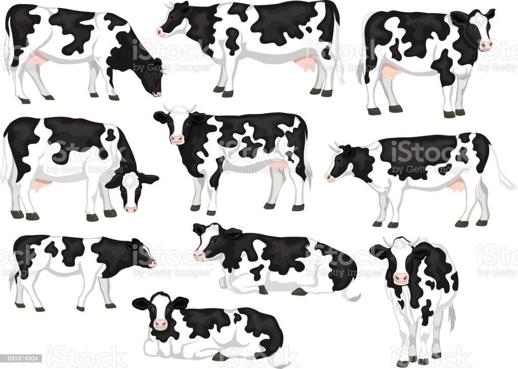 Holstein friesian black and white patched coat breed cattles set. Cows front, side view, walking, lying, grazing, eating, standing vector art illustration