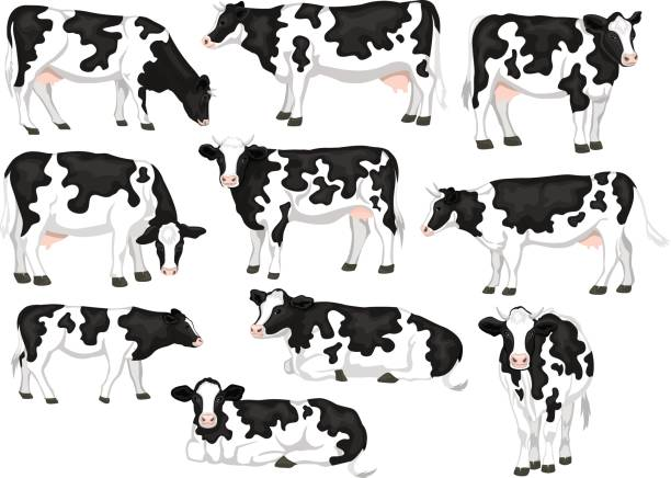 Holstein friesian black and white patched coat breed cattles set. Cows front, side view, walking, lying, grazing, eating, standing Holstein friesian black and white patched coat breed cattles set. Cows front, side view, walking, lying, grazing, eating, standing domestic cattle stock illustrations